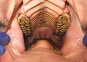 Cheek teeth in a healthy equine mouth