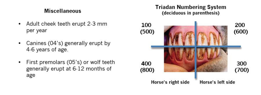 Equine Teeth Diagram 3 Months - Block And Schematic Diagrams •